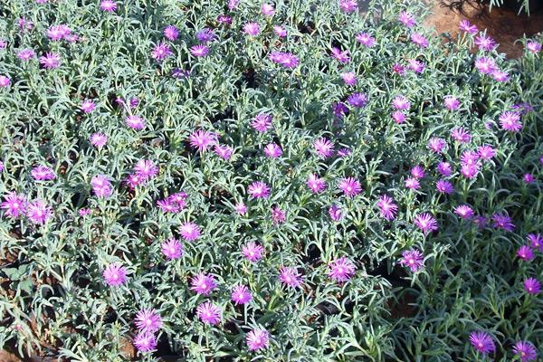 Delosperma cooperi / Mesembryanthemum criniflorum - Cupavcica