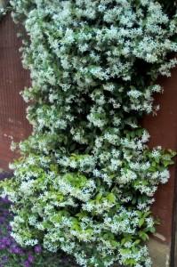 Rhinospermum jasminoides