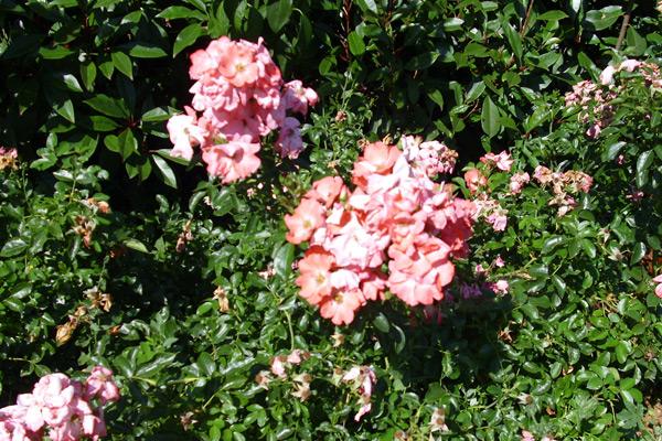 Ruza - Rosa floribunda