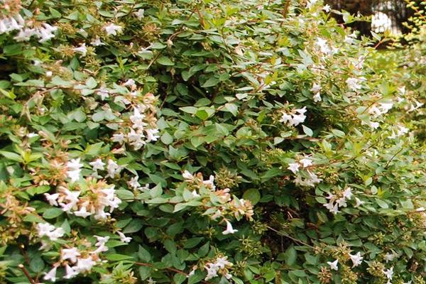 Abelija - Abelia chinesis