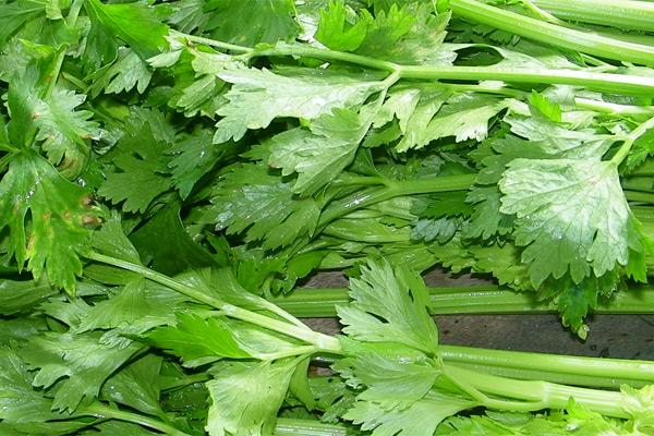 Celer - Apium graveolens