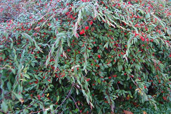 Cotoneaster salicifolius - Dunjarica, pokrivači tla