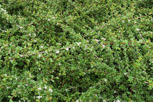 Cotoneaster dammeri - Dunjarica