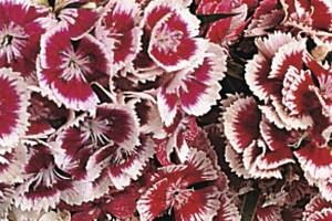 Dianthus barbatus - Karanfil