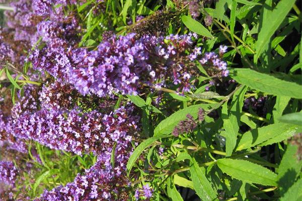 Ljetni jorgovan - Buddleia davidii, ostalo bilje