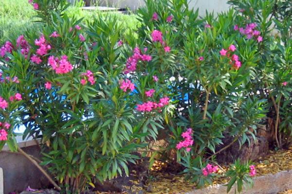Oleandar - Nerium oleander