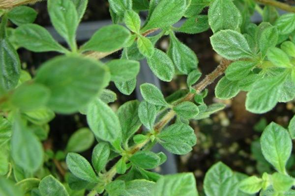 Origano (Mravinac) - Origanum vulgare