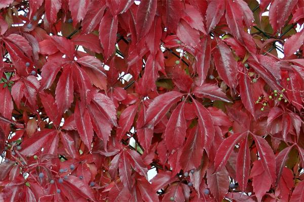 Parthenocissus quinquefolia - Lozica petolisna