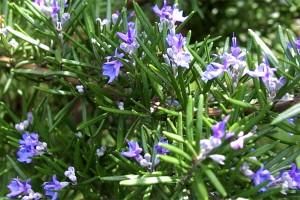 Rosmarinus officinalis - ruzmarin, Aromatsko bilje