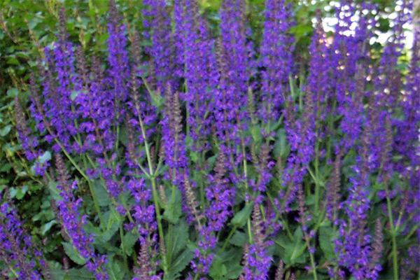 Kadulja ukrasna - Salvia x hybrida