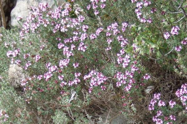 Timijan - Thymus vulgaris