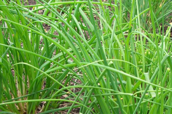 Vlasac - Allium schoenoprsum