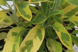 Salvia officinalis Aurea - Zlatna Kadulja