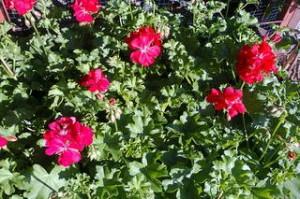 pelargonium pelt dupla
