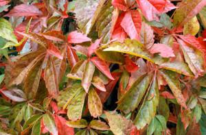 Petoprstna lozica, Parthenocissus quinquefolia, Vrt - Express