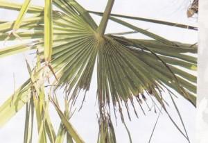 Izgriženo lišće palme