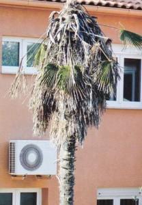 Sušenje cijele palme