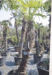 Iskrivljeni rast palme