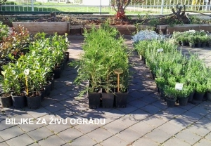 Biljke za živu ogradu