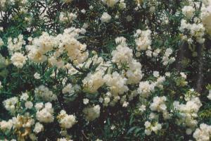 oleander bijeli 001-001