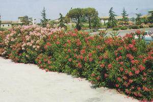oleander kao živa ograda 001-001