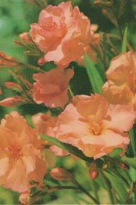 oleander narandžasti 001-001