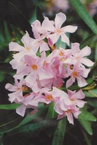 oleander roza 001-001