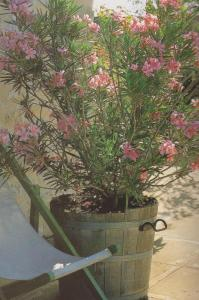 oleander u posudi 001-001