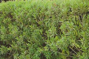 oleander zimi 001-001