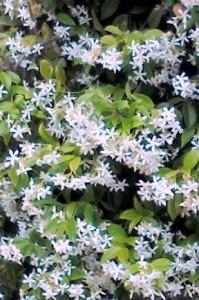 Zimski jasmin