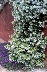 Rhinospermum jasminoides & Delosperma cooperii