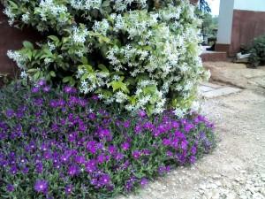 zimzeleni jasmin / zimski jasmin u kombinaciji sa pustinjskom ružom