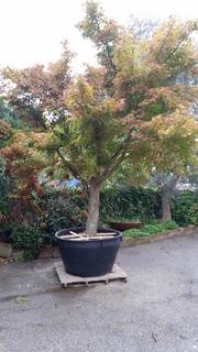 acer palmatum stablo
