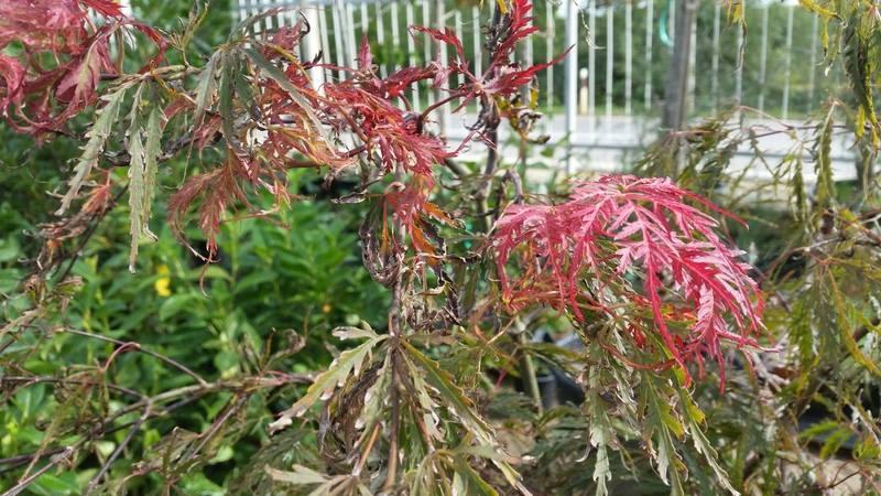 Javor - Acer palmatum
