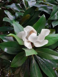 Magnolia grandiflora cvijet Vrt-Express